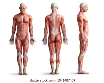 anatomy, muscles; 3d illustration