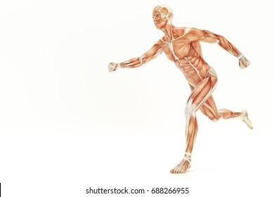 Anatomy of running human body, muscles- 3D Rendering