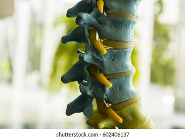 Anatomy of vertebral spines at lumbar region.