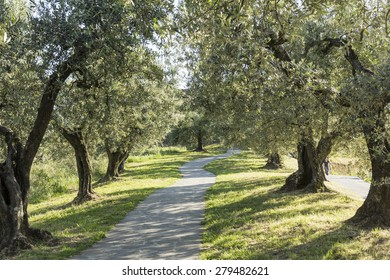 Anchiano, district of Vinci, landscape with olive trees, Tuscany, Italy