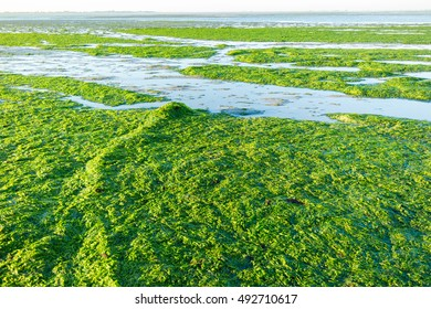 Anchor chain covered with sea lettuce on saltwater tidal flats at low tide of Waddensea, Netherlands