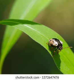 Anchor stink bug walking on a plant leaf - in Governor Knowles State Park in Northern Wisconsin
