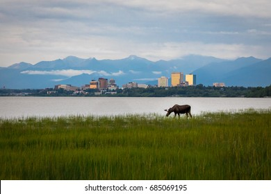Anchorage Alaska & Grazing Moose