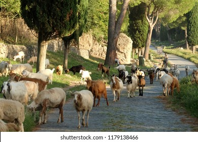 ANCIENT APPIA WAY, ROME, 12 September 2018 - Many sheeps crossing the ancient Appian way in Rome.