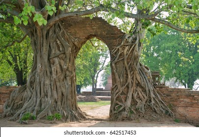 Ancient arch in tree root at Ayutthaya,Thailand.