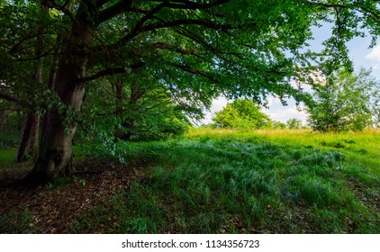 ancient beech forest meadow in summer. beautiful scenery in shade of old trees
