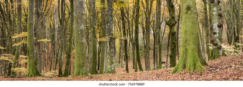 Ancient beech tree forest in Italy, Mount Cimino, UNESCO World Heritage Nature Site