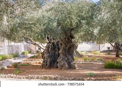 Ancient biblical olive tree planted before Christ Gethsemane garden. Jerusalem, Israel.