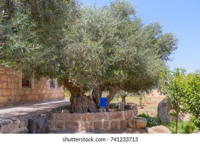 Ancient biblical olive trees planted before Christ on Shepherds Fields in Beit Sahour. Bethlehem, Palestine.