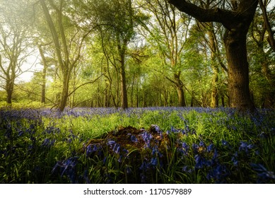 Ancient Bluebell Woods, Warwickshire, Spring morning light through the trees