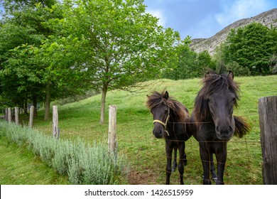 Asturcón, an ancient breed of small horse  from the autonomous region of Asturias in northern Spain.