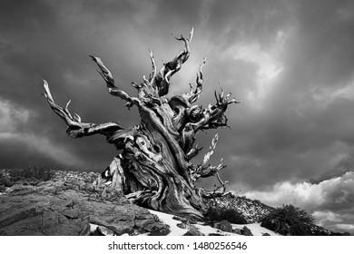 Ancient bristlecone pine black and white