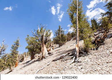 Ancient Bristlecone Pine Forest is high in the White Mountains in Inyo County in eastern California.