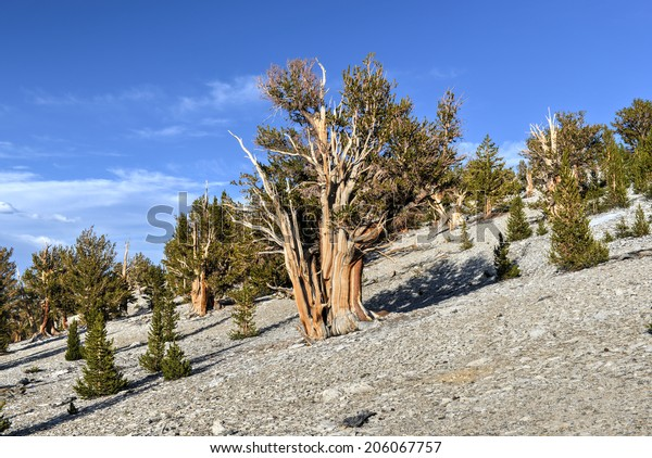 Ancient Bristlecone Pine Forest - a protected area high in the White Mountains in Inyo County in eastern California.