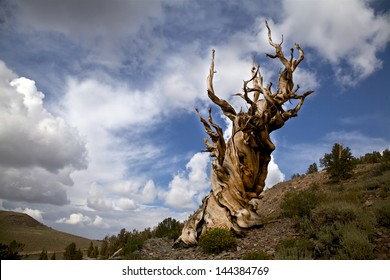 Ancient Bristlecone Pine, Inyo National Forest, California