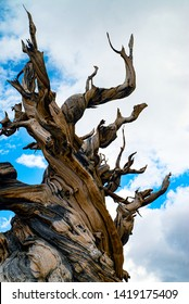 Ancient Bristlecone Pine Tree in White Mountains at Schulman Grove in Eastern California near Big Pine