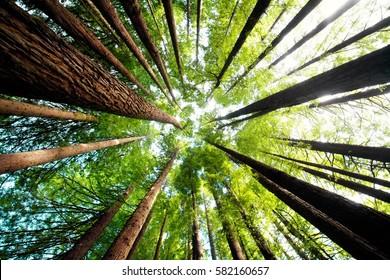 Ancient California redwood trees, Beech Forest, great ocean road, Victoria, Australia
