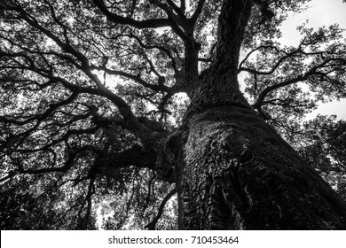 Ancient, centuries old Cork Oak tree - Quercus suber - in a Mediterranean forest