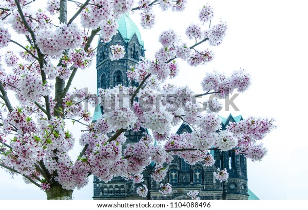 Ancient church and cherry blossoms on a white background in Mönchengladbach, Germany