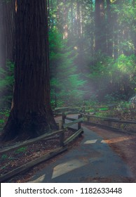 Ancient Coastal Redwood Forests , Muir Woods National Monument, San Francisco, California