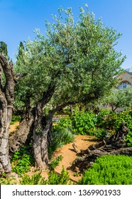 The ancient Garden of Gethsemane in holy Jerusalem. In Gethsemane grow very ancient olives. The concept of historical, religious and ethnographic tourism