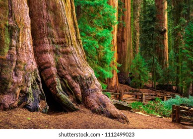 Ancient General Sherman Tree in Sequoia National Park, California. This tree is the largest known living single stem tree on Earth.