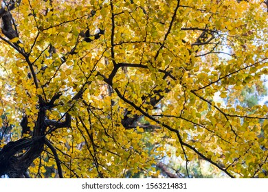 ancient ginkgo tree in autumn, upward view of golden leaves