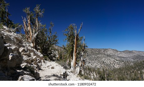 Ancient Great Basin Bristlecone Pine trees thrive on a steep, bare rocky slope with a view of other groves of the world's oldest trees beyond, in the White Mountains of California.