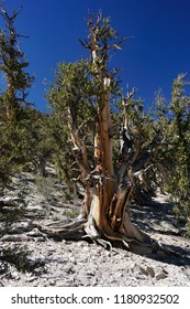 An ancient Great Basin Bristlecone Pine tree, thousands of years old and still living at high altitude on rocky ground and extreme conditions in the White Mountains of California.