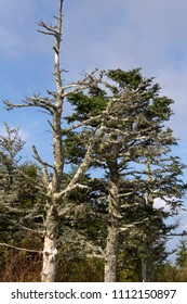 Ancient, lichen encrusted, Appalachian Mountain pine trees stand in Mount Mitchell State Park in western North Carolina, the highest point east of the Mississippi at an elevation of 6,578 feet