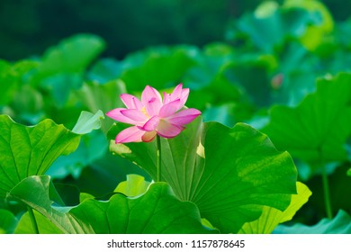 Ancient Lotus blooms in the morning - Shutterstock ID 1157878645