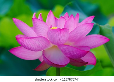 Ancient Lotus blooms in the morning - Shutterstock ID 1157878744