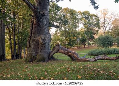 Ancient oak is one of the largest big oaks in Latvia. It grows in Seya (Sēja). The perimeter of the tree is 9.15m. Oak age - 450 years.