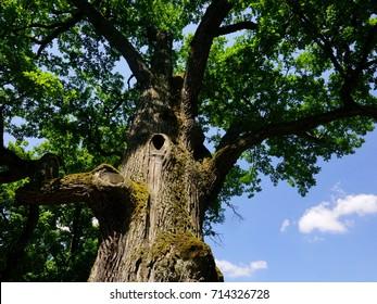 Ancient Oak Tree. 500 years old oak tree in Roztocze, Poland