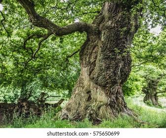 Ancient Oak Tree, Chatelherault Country Park, Hamilton, Scotland