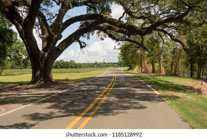 An ancient Oak Tree grows over the road left uncut in rural Louisiana USA