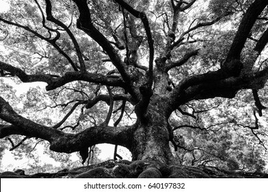 Ancient oak tree with sturdy roots and mighty branches in high contrast black and white