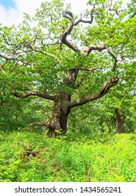 An ancient oak tree surrounded by dense undergrowth in Sherwood Forest.