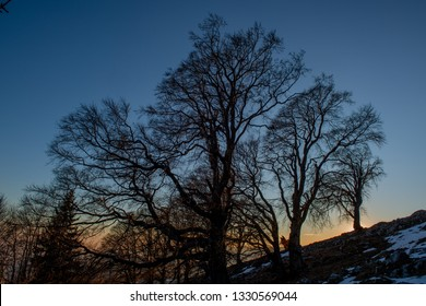 ancient oaks at sunset in winter