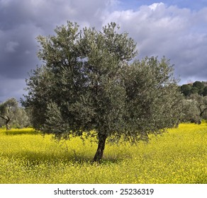 ancient  olive grove in the Galilee, Israel