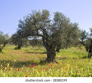 ancient olive grove with wild flowers  in the Galilee, Israel