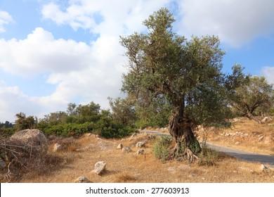 Ancient olive tree. Bible landscape. Judaean Mountains, (Judaean Hills). Israel