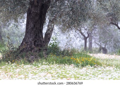 An ancient olive tree captured among spring flowers in an old olive grove in Jerusalem, Israel.