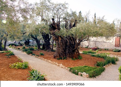 Ancient Olive Tree in Garden of Gethsemane