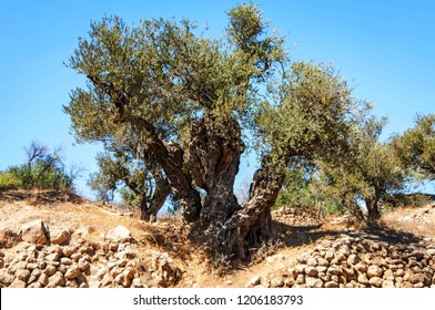 An ancient olive tree in Hebron (el Halil).