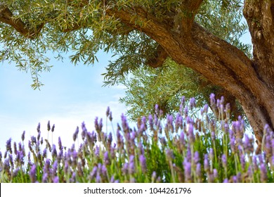 Ancient Olive tree in a lavender field