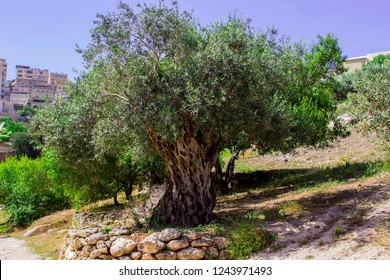 An ancient Olive Tree on a terrace in Nazareth Village Israel in the open air museum of Nazareth Village Israel. This site provides a look at the life and times of Jesus in 1st Century Israel.