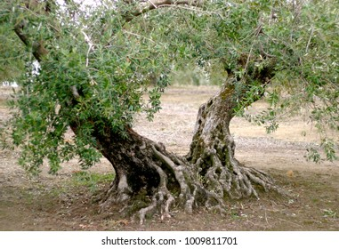 Ancient olive tree in Priego de Cordoba, Andalucia, Spain,in  world's biggest olive oil producing area