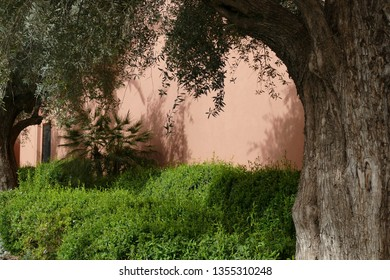 Ancient olive trees outside a hotel in Marrakech,  Morocco, Africa