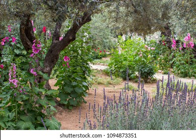 Ancient Olive Trees and young herbaceous plants living side by side in the historic Garden of Getshemene the scene of Jesus Christ's agonising prayer on the night he was betrayed by Judas Iscariot